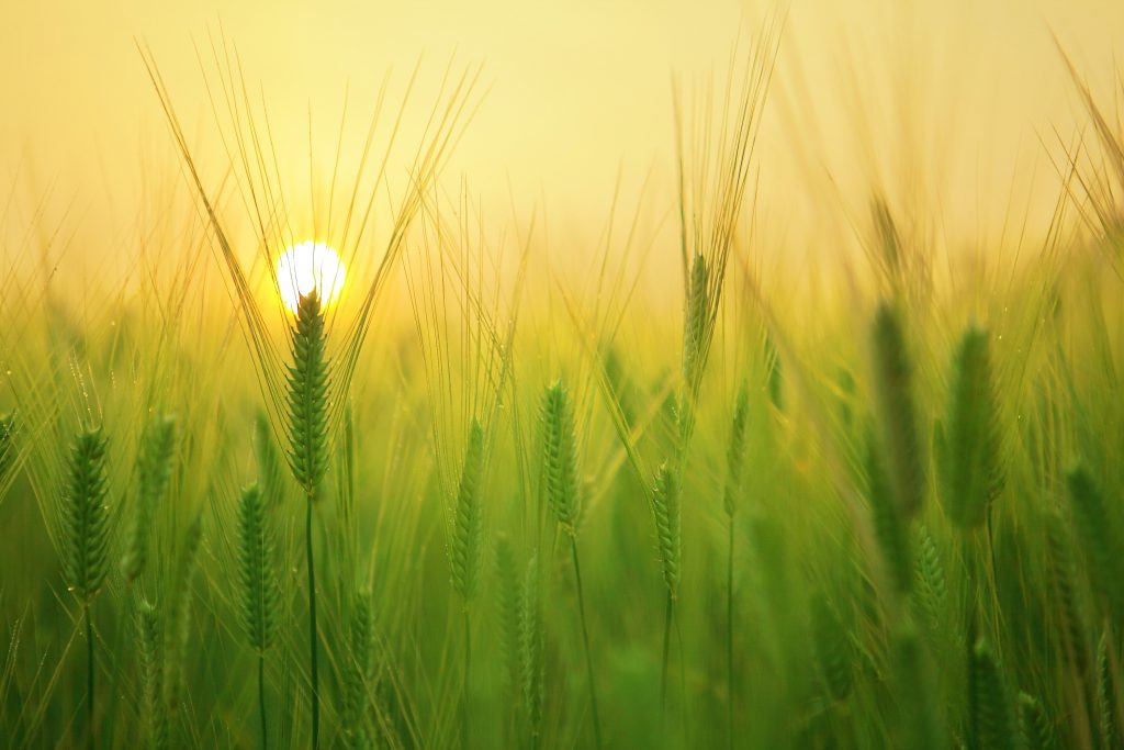 barley-field-beautiful-close-up-207247